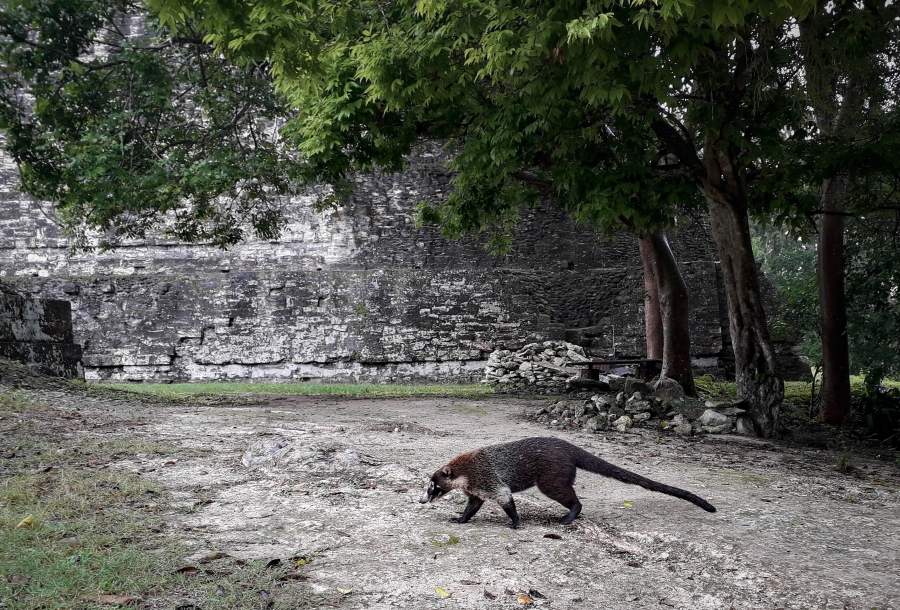 Coati - an unusual Central America mammal with a long snout