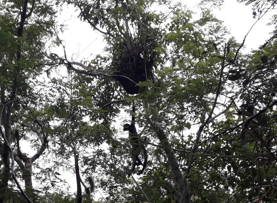 Howler Monkey! Their throaty grunts can be heard for miles around. We could even hear them sometimes while cycling the roads of Central America.